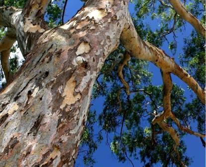 redgum-bark