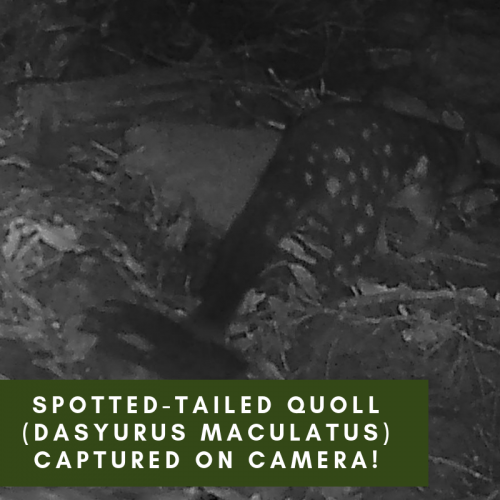 Spotted-tailed Quoll (Dasyurus maculatus) captured on camera!