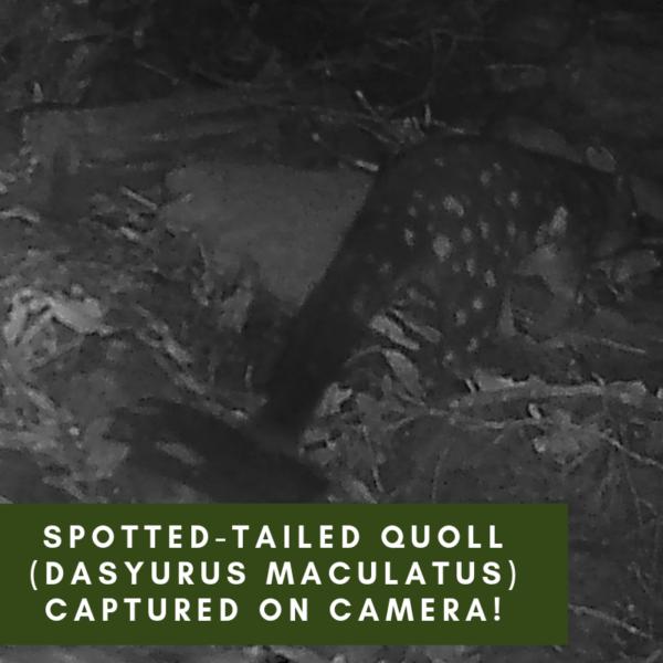 Spotted-tailed Quoll (Dasyurus maculatus) captured on camera!