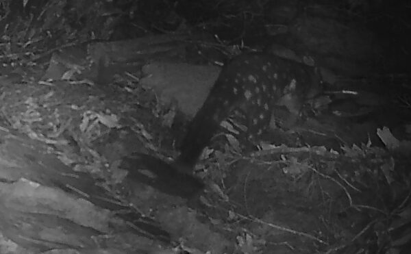 Spotted Quoll Greta