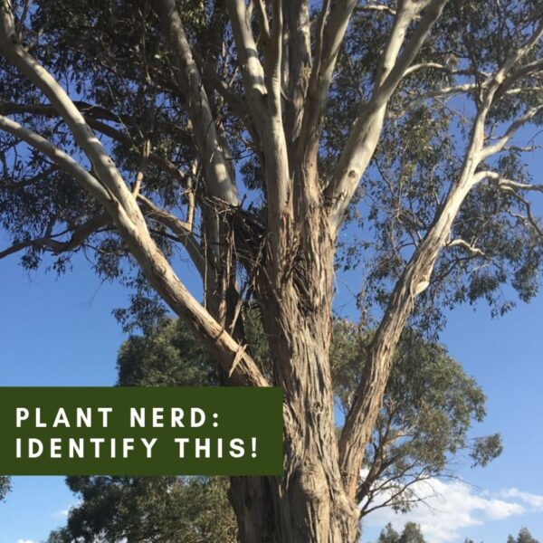 A Plant Nerd Answers: How to ID a Gum Tree