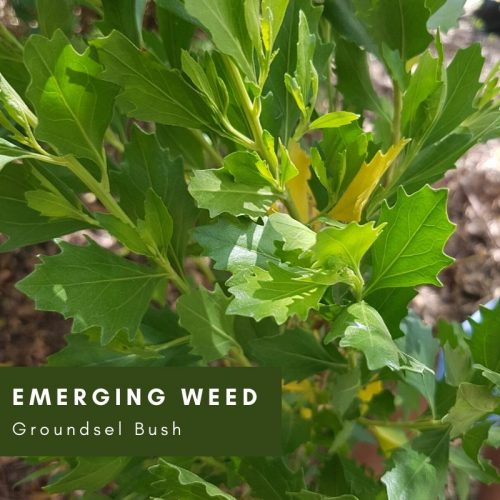 Emerging Weed: Groundsel Bush