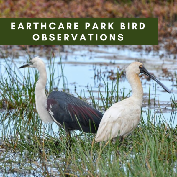 Earthcare Park Bird Observations – A tribute to the value of rehabilitating our native bushland.