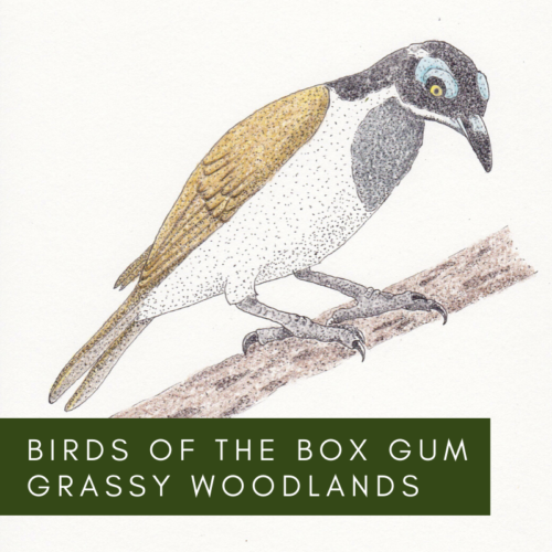 Birds of the Box Gum Grassy Woodlands