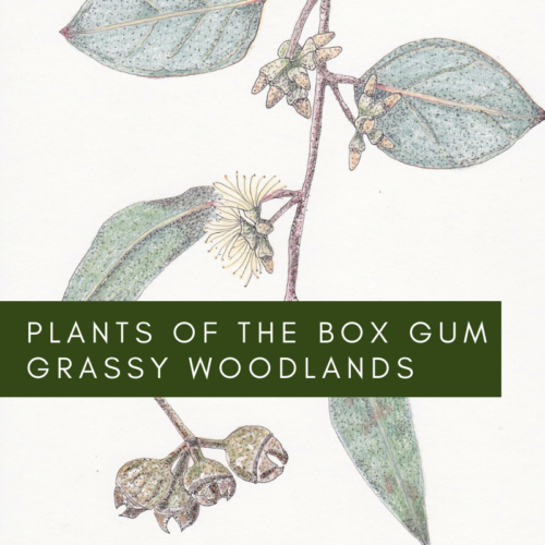 Plants of the Box Gum Grassy Woodlands