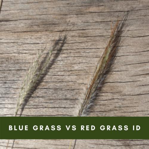 Blue grass vs Red Grass ID