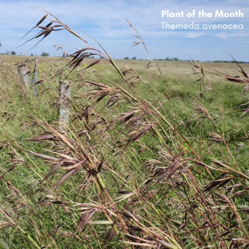 Plant of the month: Tall Oat Grass (Themeda avenacea)