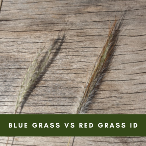 Blue Grass Vs Red Grass Identification
