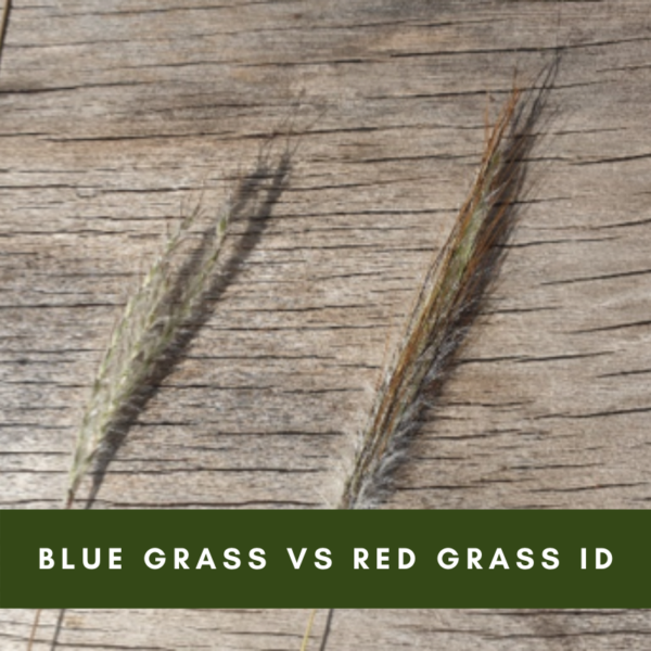Blue Grass Vs Red Grass Identification