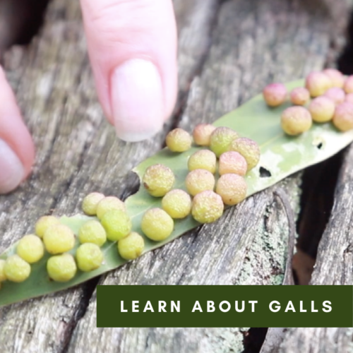 Learn about Galls