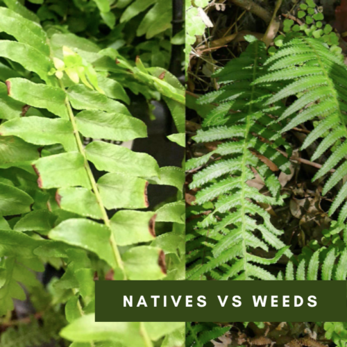 Identifying Natives vs Weeds