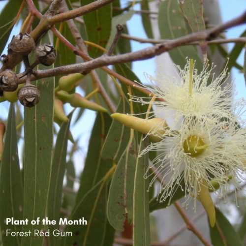 Plant of the Month: Forest Red Gum