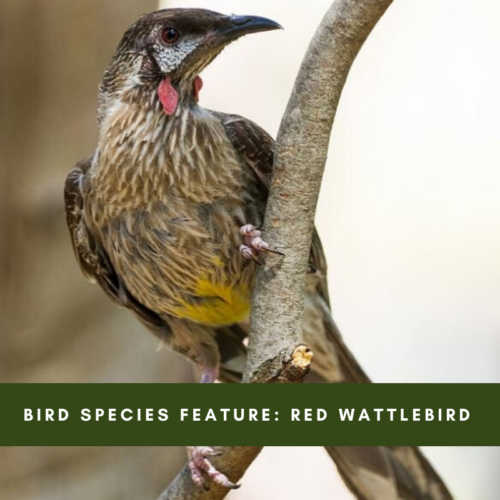 Bird Species Feature: Red Wattlebird
