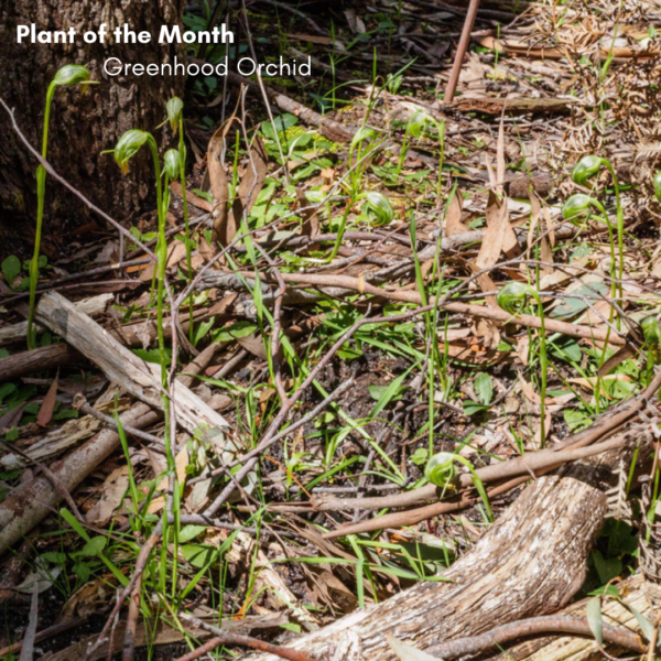 Plant of the Month: Greenhood Orchid (Pterostylis nutans)