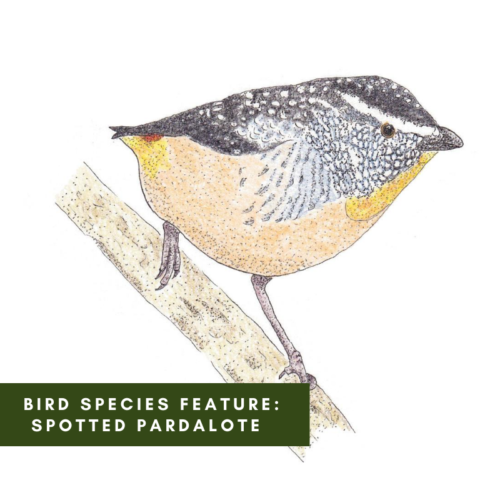 Bird Species Feature: Spotted Pardalote
