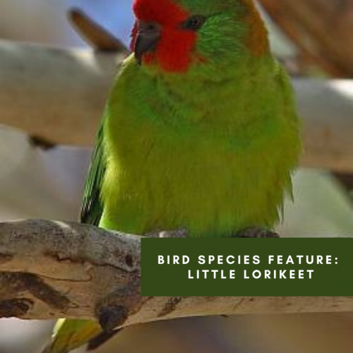 Bird species feature: Little Lorikeet