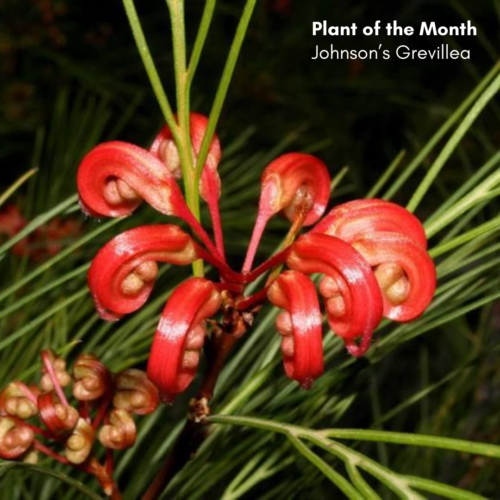 Plant of the Month: Johnson's Grevillea (Grevillea johnsonii).