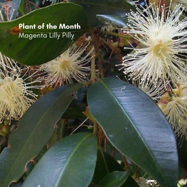Plant of the Month: Magenta Lilly Pilly