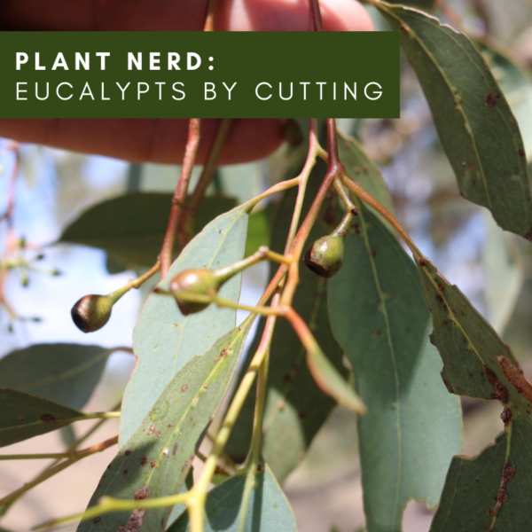 Ask a Plant Nerd: Eucalypts by cutting