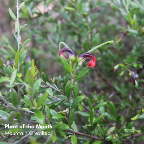 Plant of the Month: Mountain Grevillea (Grevillea johnsonii)