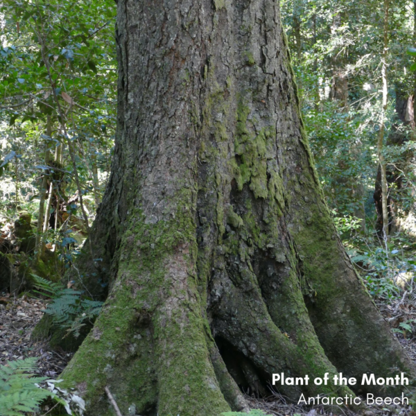 Plant of the month: Antarctic Beech, Nothofagus moorei