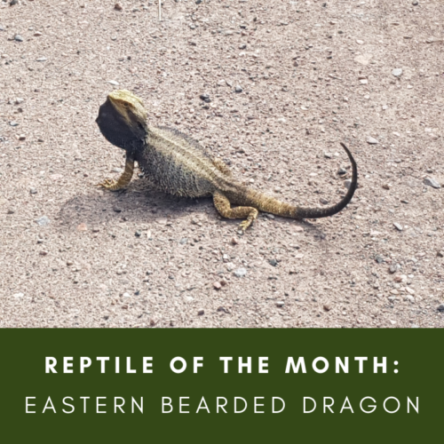 Reptile of the Month: Eastern Bearded dragon, Pogona barbata