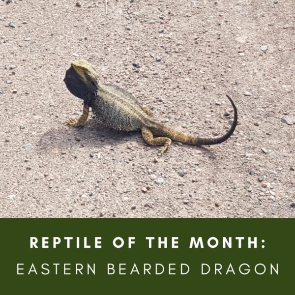 Reptile of the Month: Eastern Bearded dragon, Pogona barbata