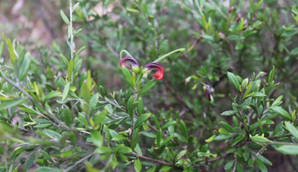 A medium size shrub to about a metre and a half the Grevillea montana is characterised by narrow elliptic leaves 1.5 to 3 cm long and 1.5 to 6.5mm wide with distinct red and green flowers occurring either singularly or in clusters of up to four, though there are some colour variants in the Denman area.
