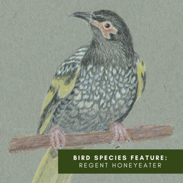 Bird species feature: Regent Honeyeater
