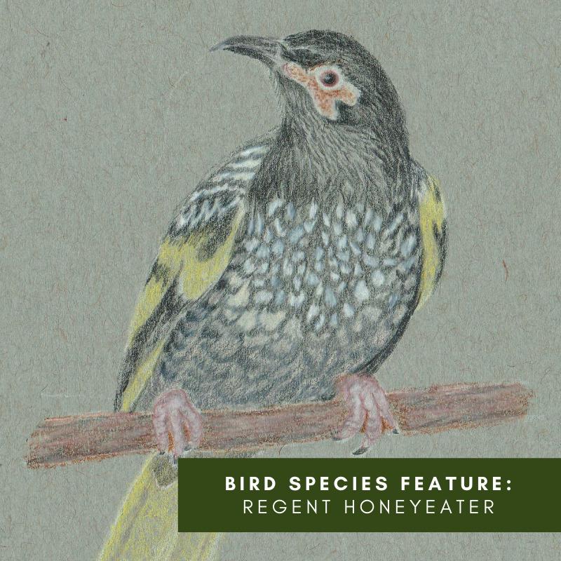 Bird Species Feature_ Regent Honey Eater