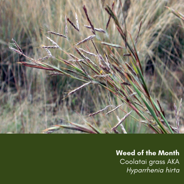 Weed of the Month: Coolatai grass Hyparrhenia hirta