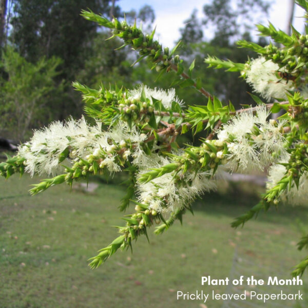 Plant of the Month: Melaleuca styphelioides, Prickly leaved Paperbark