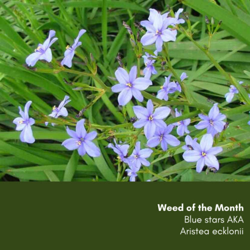 Weed of the Month: Blue stars AKA Aristea ecklonii