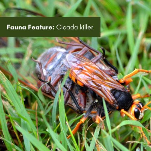 Fauna Feature: Cicada killer