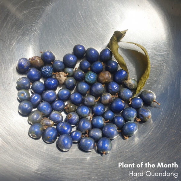 Plant of the Month: What's in a name? Hard Quandong