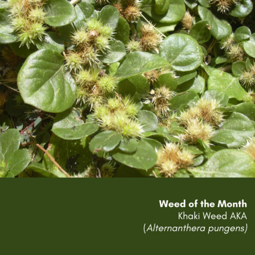 Weed of the Month: Khaki Weed (Alternanthera pungens)