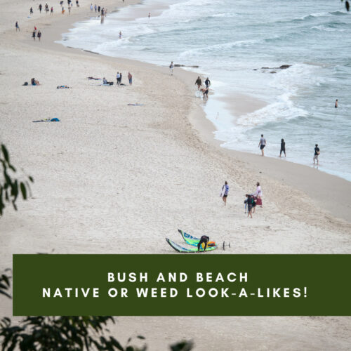 Bush and Beach – Native or Weed look-a-likes!