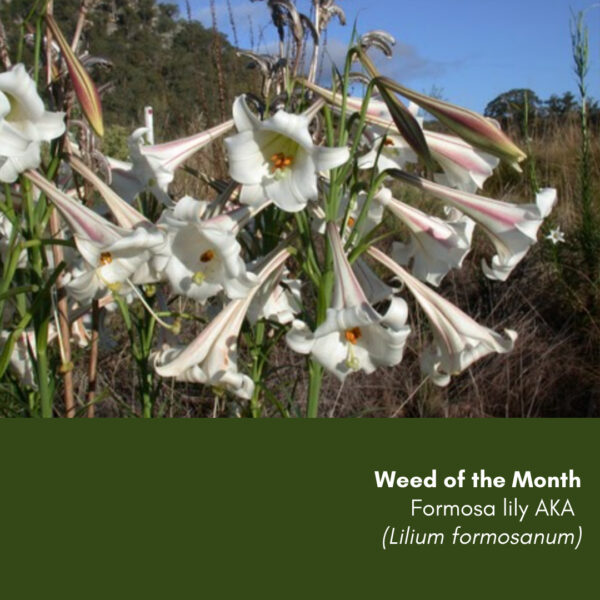 Weed of the Month: Formosa lily
