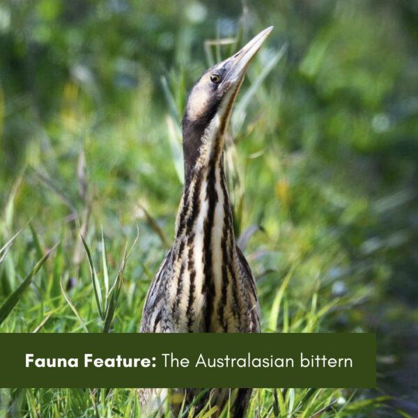Fauna Feature:  The Australasian Bittern