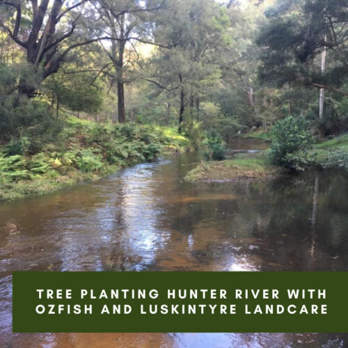 Tree Planting Hunter River with OzFish and Luskintyre Landcare