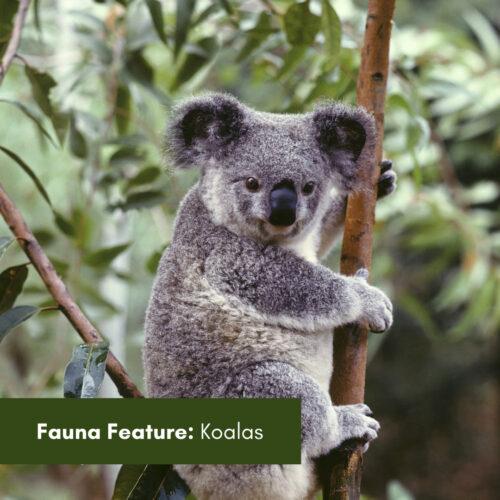 Fauna Feature: Koalas