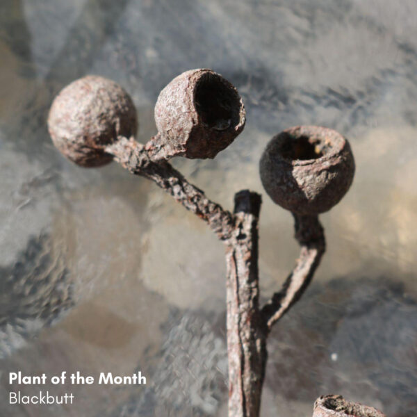 Plant of the Month: Blackbutt