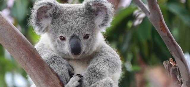 hunter-region-landcare-koala-2