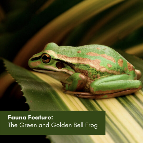 Fauna Feature: The Green and Golden Bell Frog