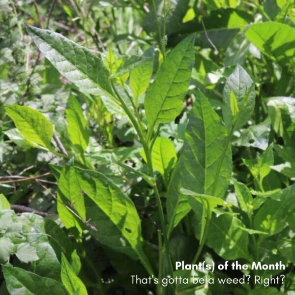 Plants of the Month: That's gotta be a weed?