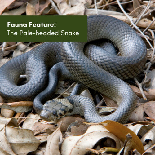 Fauna Feature: The Pale-headed Snake