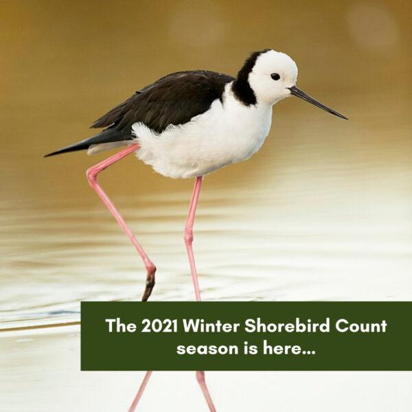 The 2021 Winter Shorebird Count season is here…