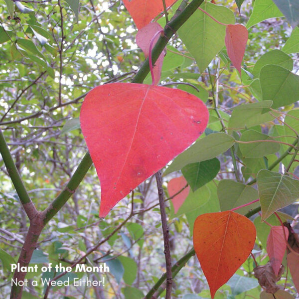 Plant of the Month: Not a Weed Either!