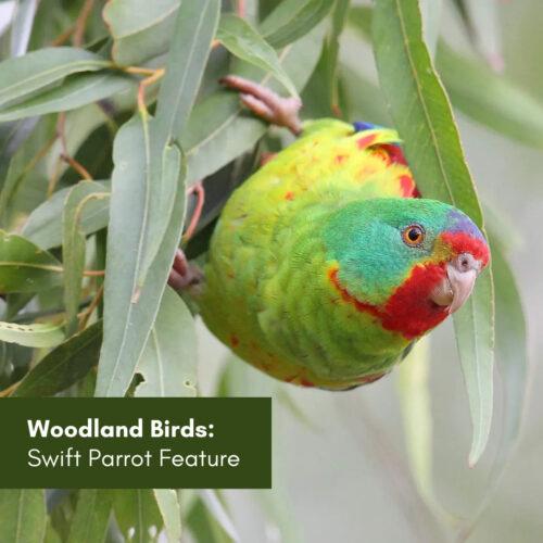 Woodland birds: Swift parrot feature