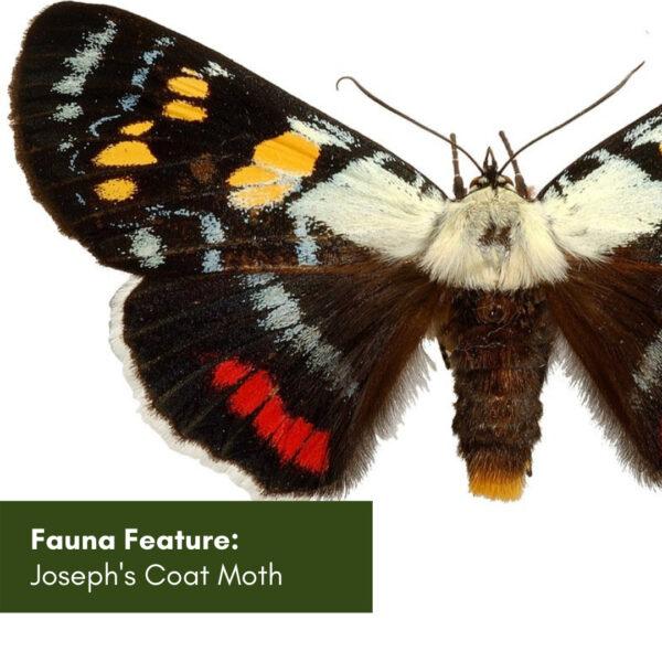 Fauna Feature: Joseph's Coat Moth